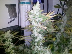 Finest Feminized Seeds